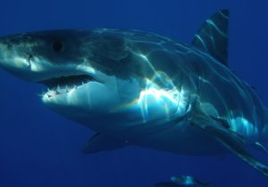 Spotted: Biggest Great White Shark in the World