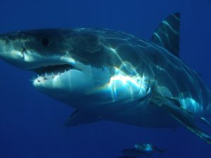 Read more about the article Spotted: Biggest Great White Shark in the World