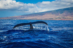Hawaii Humpback Entangled in Fishnet Sparks Debate!