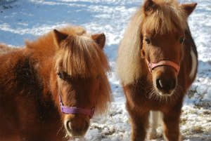 Mini Horses Teach Kids Animal Care